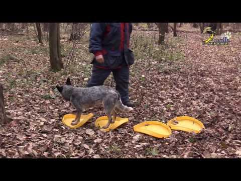 Кликер дрессировка, закулисье дрессировки, реальность обучения собаки