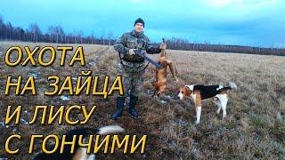 Охота с гончаками на зайца и лису