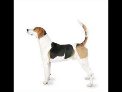 English Foxhound ~ Puppies for Sale, by Pets4You.com