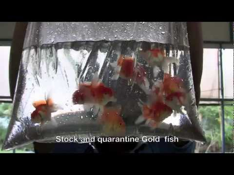 ornamental fish export company from Thailand