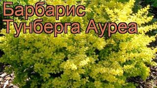 Барбарис тунберга Ауреа (berberis thunbergii aurea) ???? обзор: как сажать, саженцы барбариса Ауреа