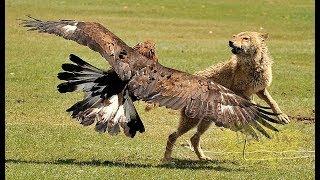 20 Атак ОРЛОВ СНЯТЫХ НА КАМЕРУ 2019 охота орла Eagle Attac