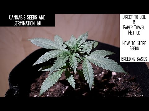 How To Germinate, Plant And Store Your Cannabis Seeds