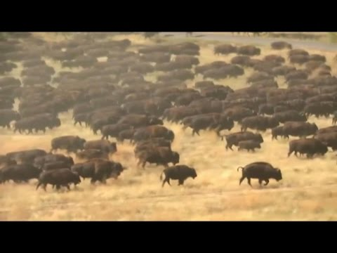 Buffalo herd wows South Dakota crowd
