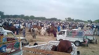 Cow Mandi Mirpur Sakro Sindh 2019