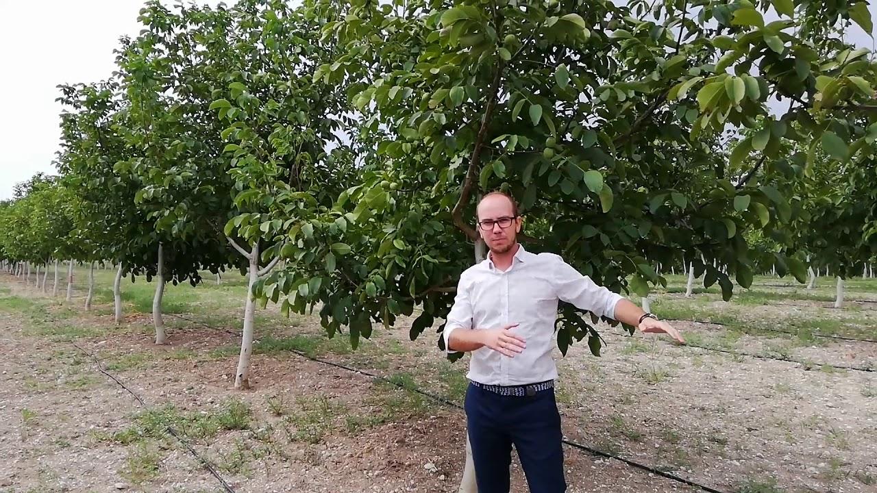 Chandler Walnut Trees Waltree Nursery