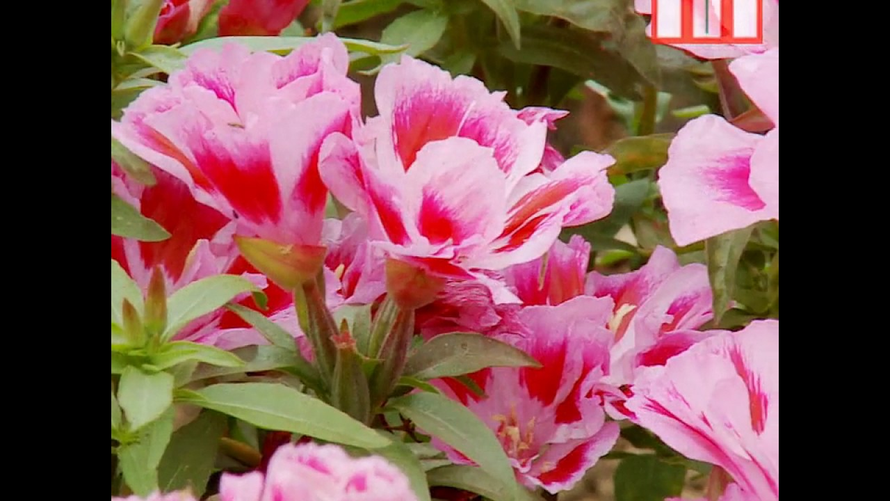 Godetia Rembrandt Flowers Thompson /& Morgan 300 Seed