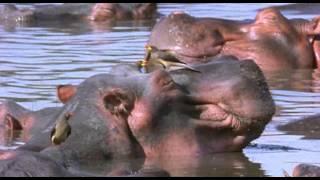 BBC. Ребятам о зверятах - Бегемоты (1 сезон 1 серия)