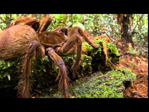 """A """"PUPPY-SIZED SPIDER"""" Found in Guyana (PHOTOS)"""