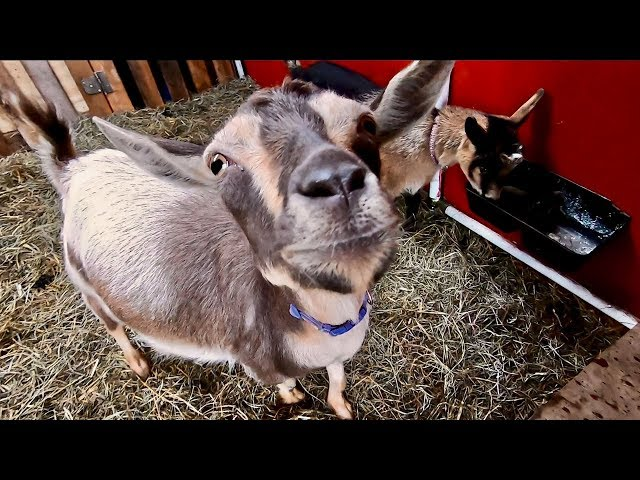 These Goat Babies are COMING we need to get the BARN READY
