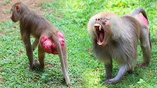 BABOON Got angry  | True LOVE STORY  | Amazing Reaction | ANIMAL LIFE
