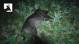 Night hunting wild boar - Nocne polowanie na dziki