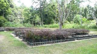 Sri Lanka,ශ්රී ලංකා,Ceylon,Tea Sapplings