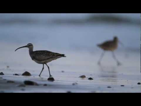 California Shorebirds Foraging (HD)