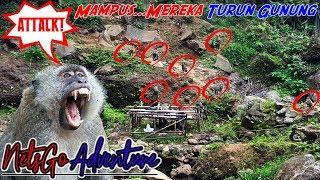 Tolong! Kita Diserbu Monyet Sekampung Cuy - Udah Kaya Planet Of The Apes Aja...