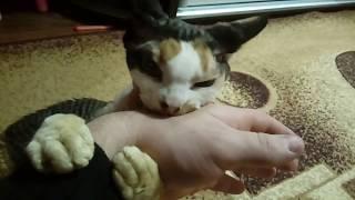 Кот рычит и кусает руку