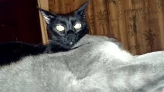 Брачные игры котов   Одна кошка ласкается а вторая кусается   Смешные кошки МатроскинТВ