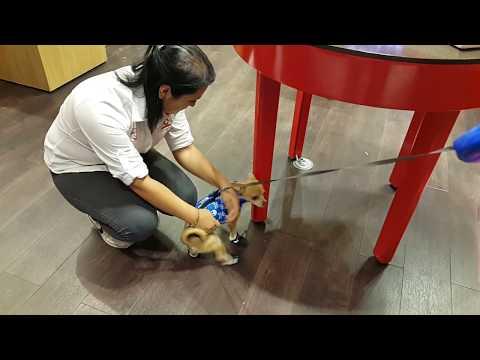 Sevimli Köpeğim Badi Arkadaşını Göremeyince Dükkanı Hemen Terketti (Dog Chihuahua Buddy Şivava)
