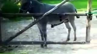 Repeat youtube video Burro calenturiento Rx fefewf