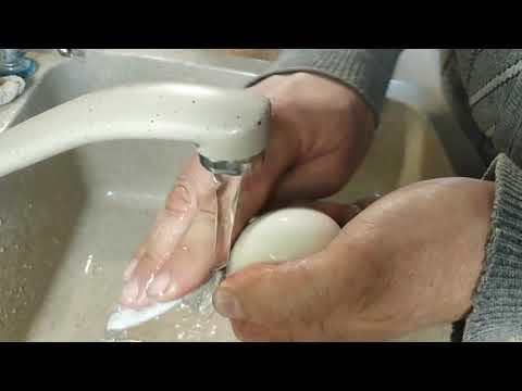 Инкубация яиц мускусной утки - пошаговая инструкция. Ошкуривание.