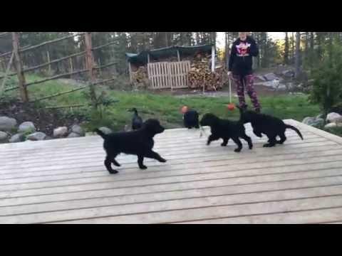Flatcoated Retriever Puppies