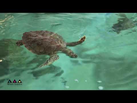 Cold Stunned Sea Turtles Update