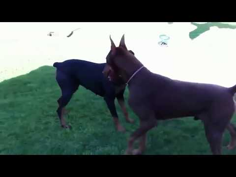 Dogs Mating Up Close And Get Stuck - Funny Animals Mating Compilation - Funny Dog Mating Fails #7