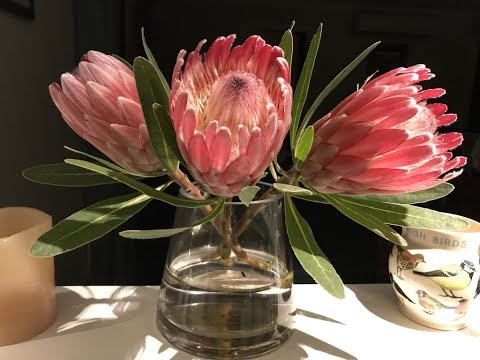 Amazing and Most Beautiful Protea Flowers Pictures