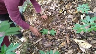 Kỹ thuật trồng Sâm Ngọc Linh tự nhiên.