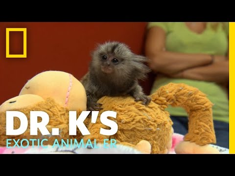 A Marmoset Mama | Dr. K's Exotic Animal ER