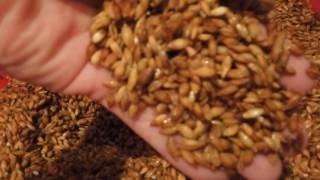 Приготовление виски дома. часть 1. (Вымачивание ячменя, подготовка к проращиванию)