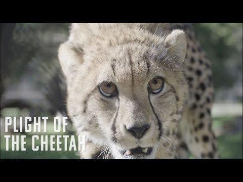 Plight Of The Cheetah | Fossil Rim Wildlife Center
