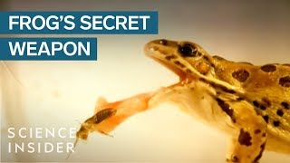 Frogs Have A Secret Weapon To Catch Their Prey