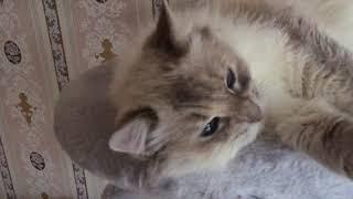 Гладим Невскую Маскарадную кошку