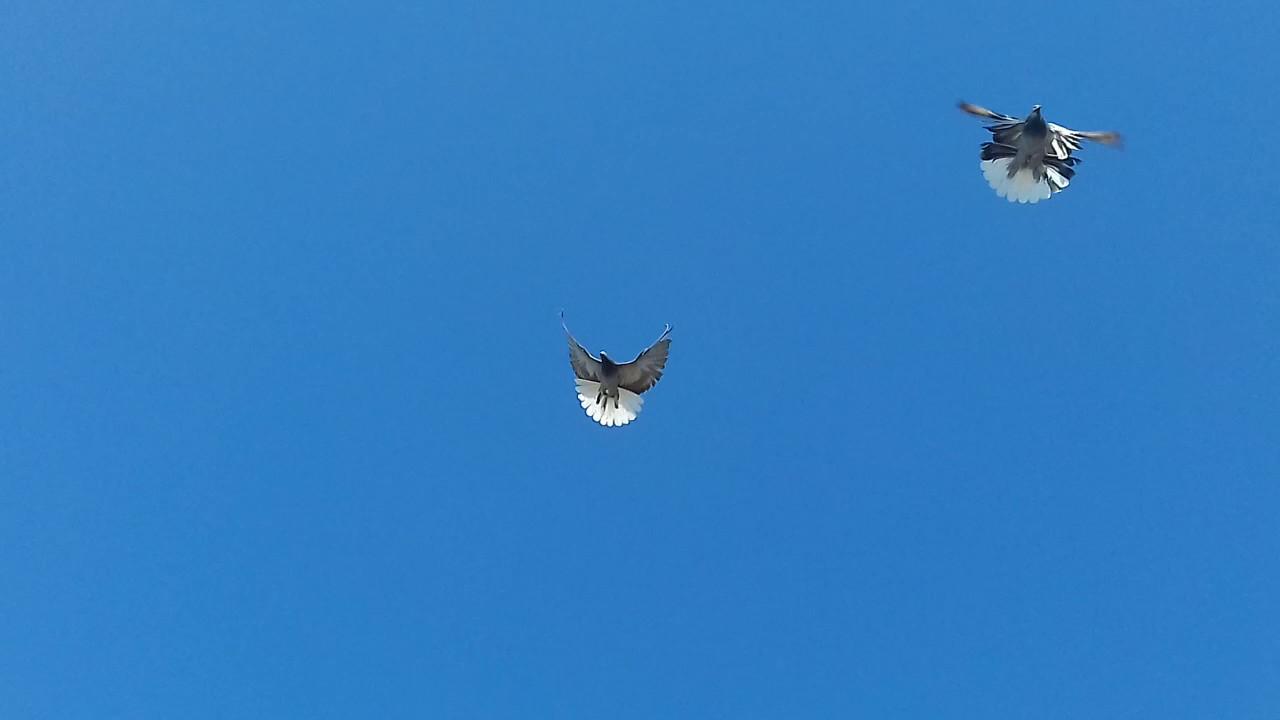 образом николаевские голуби ютуб даются