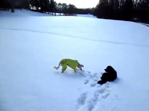 雪原でサルーキを追い駆けるシュナウザー♪(Saluki・ミニシュナ)
