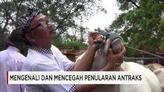 Waspada Penyakit Antraks, Sejumlah Hewan di Bantul, Yogyakarta, Diperiksa Kesehatannya.
