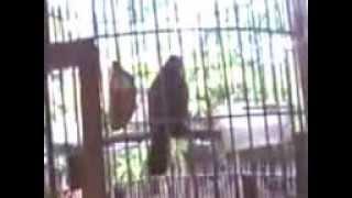 Video suara burung trucuk ropel gila bro download MP3, 3GP, MP4, WEBM, AVI, FLV Juli 2018