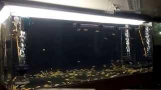 アロワナ混泳水槽メダカ300匹捕食