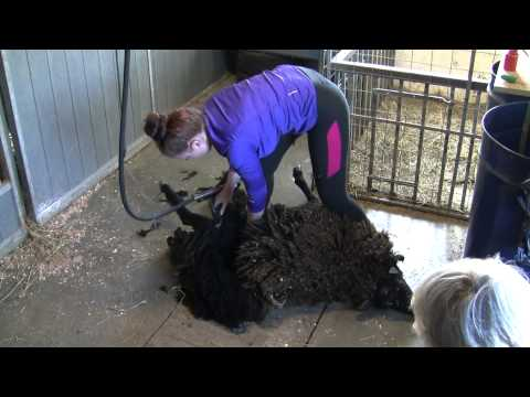 Black Sheep shearing