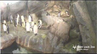 Penguin & Puffin Coast Live Stream