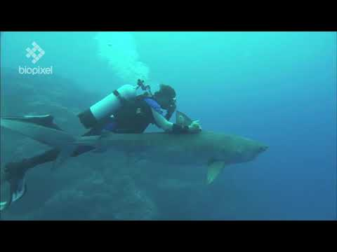 Tiger shark research with Richard Fitzaptrick