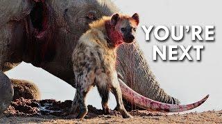Hyenas Give Birth through a Pseudo Penis