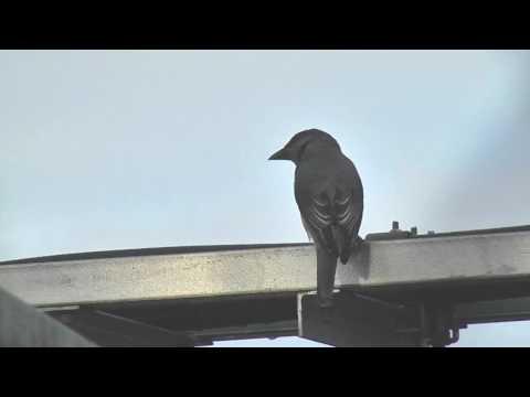 Cuckooshrike, Javan - Coracina javensis