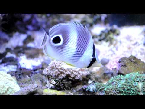 Foureye Butterflyfish Added To SPS Reef Tank For Aiptaisa Control