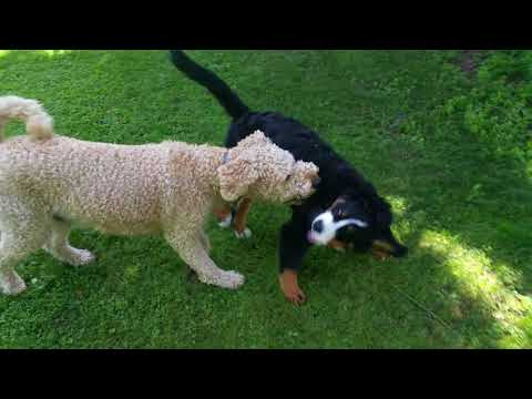 Farfel Goldendoodle and Utley the Bernese Mountain dog