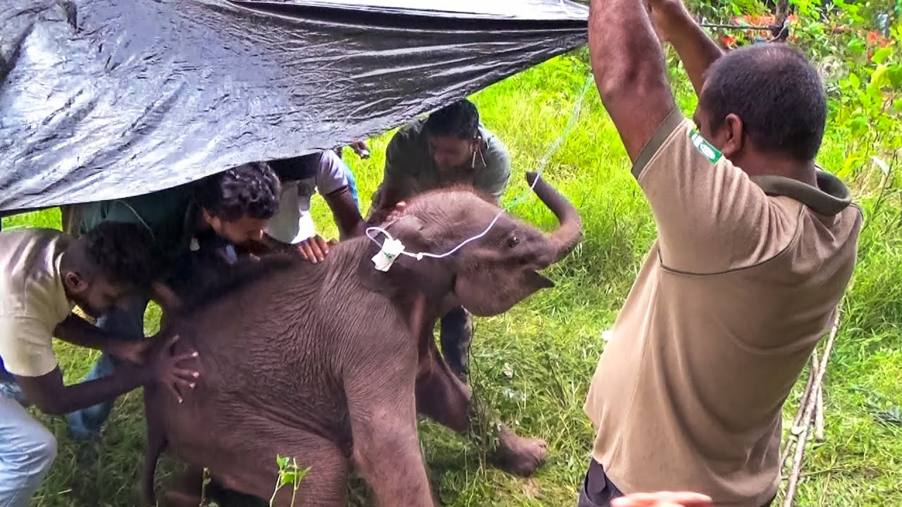 Sick and Lost : A rescue mission of an orphaned elephant calf