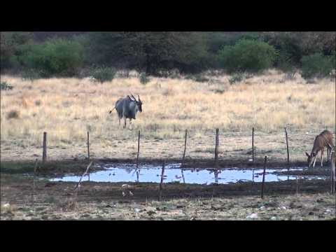Hunting Video - Taking A Good Eland Bull In Namibia 2014
