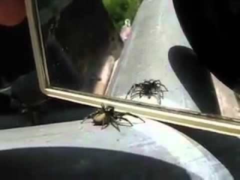 Ayna Gören Örümcek'ten Şaşırtan Hareketler..!