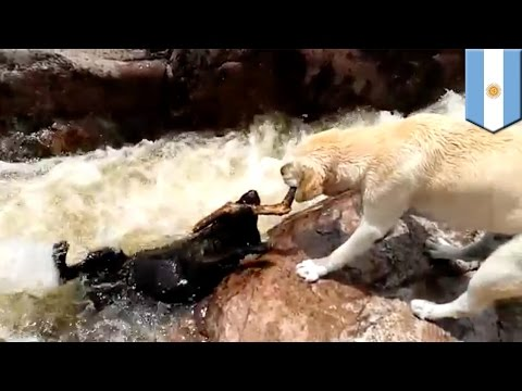 Thumbnail: Epic dog rescue: video appears to show yellow lab rescue his pal from raging river rapids - TomoNews
